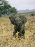 A Juvenile African Elephant Takes a Walk