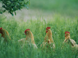 Four Buff Orpington Hens in Tall Grass