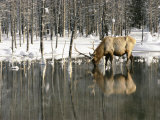 A Male Elk Takes a Drink While Standing in the Water in This Winter Scene