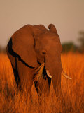 African Elephant Eating Grass