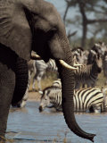 An African Elephant Drinks from a Water Hole Shared by a Herd of Plains Zebras