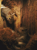 A Baby Eastern Gray Squirrel in its Nest
