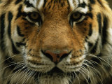A Close View of the Face of Khuntami, a Male Siberian Tiger, in a Zoo