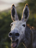 Close View of a Braying Donkey