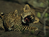 Yawning Four-Month-Old Leopard Cub with its Sleeping Sibling