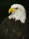 Portrait of an American Bald Eagle