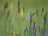 Prairie Grasses and Prairie Flowers
