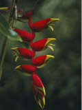 Close View of the Blossoms of a Heliconia Bird of Paradise Plant