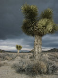Stormy Clouds Brew over the Mojave Desert and Beaked Yucca Plants