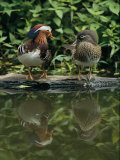 Male and Female Mandarin Ducks on a Log