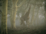 Buy A Giraffe Stands in a Misty Forest in the Ndumu Game Reserve at AllPosters.com