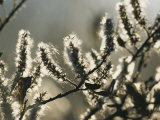 A Close View of Catkins of a Willow Shrub Near the Mackenzie River