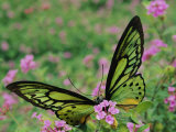A Captive Birdwing Butterfly Lands on a Pink Flower