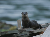 A River Otter Perched on Planks of Wood in Knight Inlet