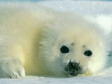 A Newborn Harp Seal Pup in a Thin White Coat Stares Directly at the Camera