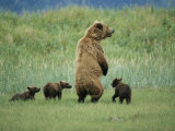 An Alaskan Brown Bear Stands up to Look out for Any Danger to Her Three Cubs