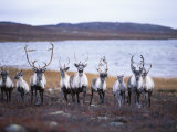 A Group of Barren-Ground Caribou