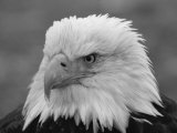 A Black and White Portrait of an American Bald Eagle