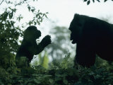 A Female Western Lowland Gorilla Appears to Be Teaching Her Youngster