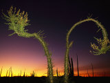 View at Twilight of a Boojum Tree in Baja