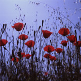 Red Poppies Growing in a Grassy Field