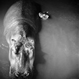 Mother Hippo 'Bebe' and Her Daughter Photographic Print