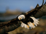 An American Bald Eagle Flies in for a Landing