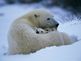 A Polar Bear Snuggles up with Her Cubs
