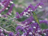 A Green Violet-Eared Hummingbird Feeds on Wildflowers