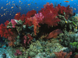A School of Anthias Fish Swarm Above a Soft Coral Reef Wall