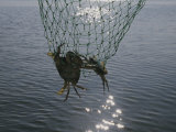 Two Blue Crabs Caught in a Net