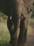 A Portrait of an African Elephant, Loxodonta Africana, Walking