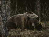 Grizzly Bear (Ursus Arctos Horribilis) Lying Down in the Woods
