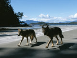 A Pair of Wolves Walk Along the Beach