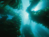 View of Giant Kelp Forest with Surface Sunlight