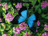 A Ulysses Butterfly, Native to Australia, Lands on Some Pink Flowers
