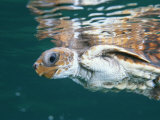 A Juvenile Endangered Loggerhead Turtle Swims at the Waters Surface