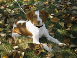 Portrait of a Brittany Spaniel Puppy