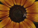 Close View of a Bee on a Sunflower