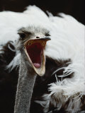Close View of an Ostrich