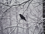 A Black Crow Contrasts with Falling White Snow Blanketing the Surrounding Woods