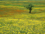 A Lone Apple Tree Stands in a Field Full of Dandelions and Orange Hawkweed