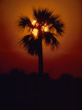Silhouette of a Palm Tree Shot against a Setting Sun
