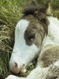 Portrait of a Wild Pony Foal Sleeping
