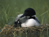 A Common Loon Sits with a Chick on Her Marshy Nest