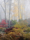 Buy Japanese Maple Trees in the Fog at AllPosters.com