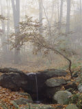 Buy Japanese Maple Trees in the Fog in a Japanese Garden at AllPosters.com