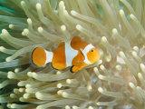Buy Clown Anemonefish in Sea Anemone, Pacific Ocean at AllPosters.com