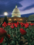 Twilight View of the U.S. Capitol with Red Tulips in the Foreground
