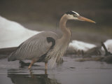 Close View of a Great Blue Heron Searching the Shallows for Food